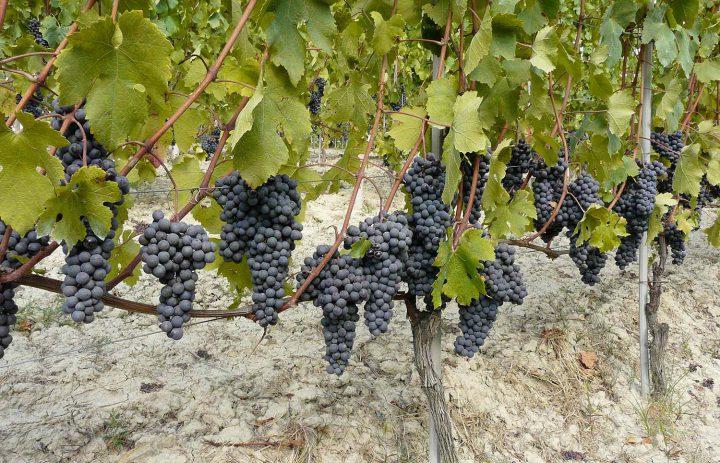 pc-piemonte-uva-1500